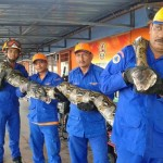Longest Python Captured lays egg before dying in Malaysia